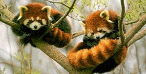 red-panda-firefox.jpg