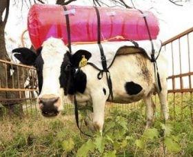 1-cowbackpacks.jpg